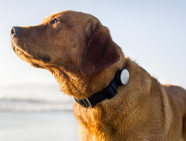 Whistle Dog Collar — ошейник, отслеживающий активность собаки