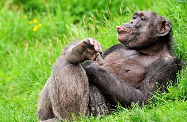 Ученые начали осваивать язык жестов шимпанзе и нашли в нем зачатки человеческого языка