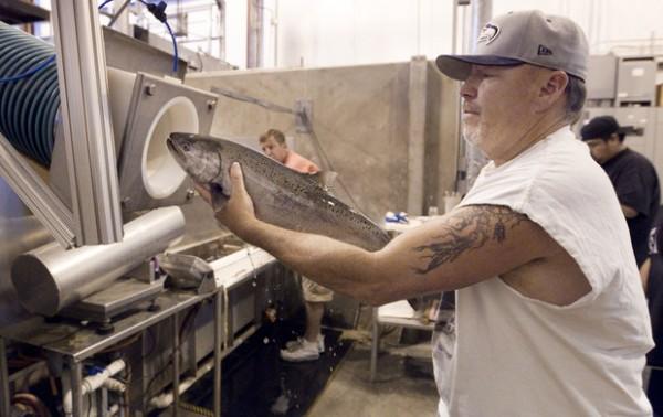 Лососевая пушка выстреливает 40 рыб в минуту