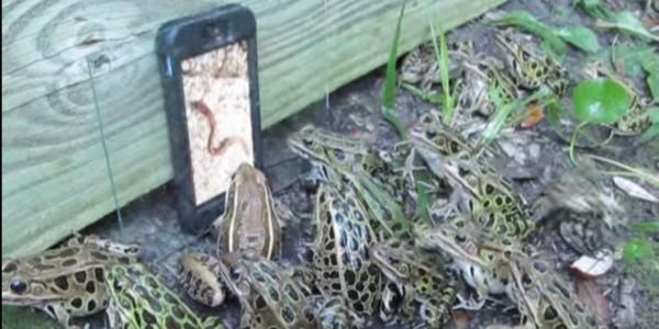 Frog TV: лягушки приняли червей на видео за настоящих