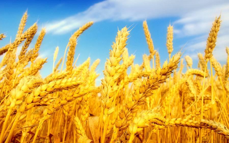 Биотехнологи разрабатывают пшеницу с искусственным разумом