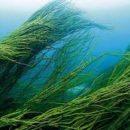 Ученым удалось вывести биотопливо из водорослей