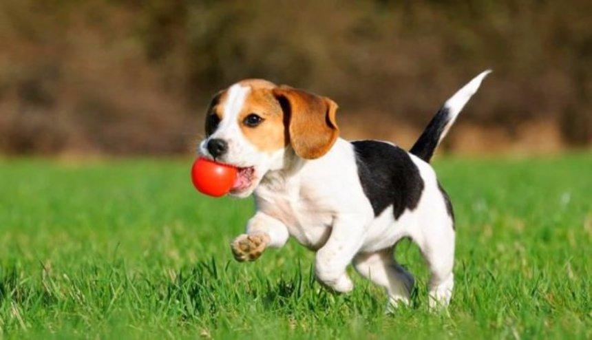 В Китае впервые клонировали собаку