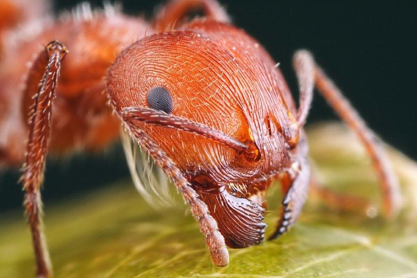 В Японии обнаружили смертельно опасных муравьев