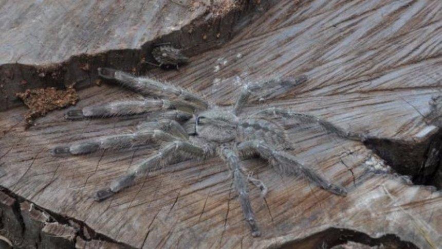 Выявлен новый вид гигантских пауков