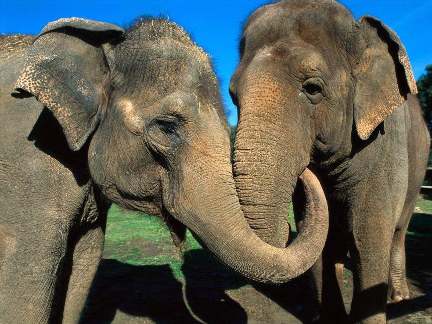 Для слонов придумали защитные датчики с сигнализацией