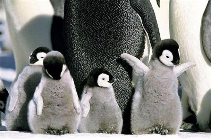 В Антарктике пингвины потеряли почти всех птенцов