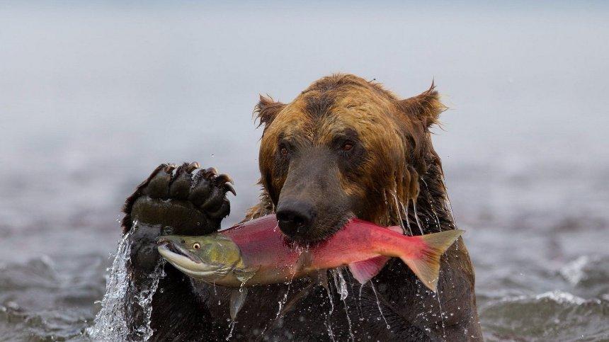 Из-за глобального потепления медведи стали есть меньше рыбы