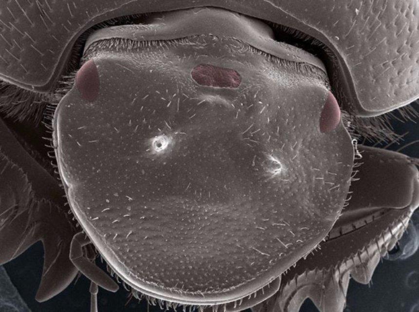 Ученые попробовали создать жуку третий глаз