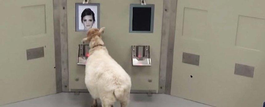 Овцы умеют распознавать лица на фотографии