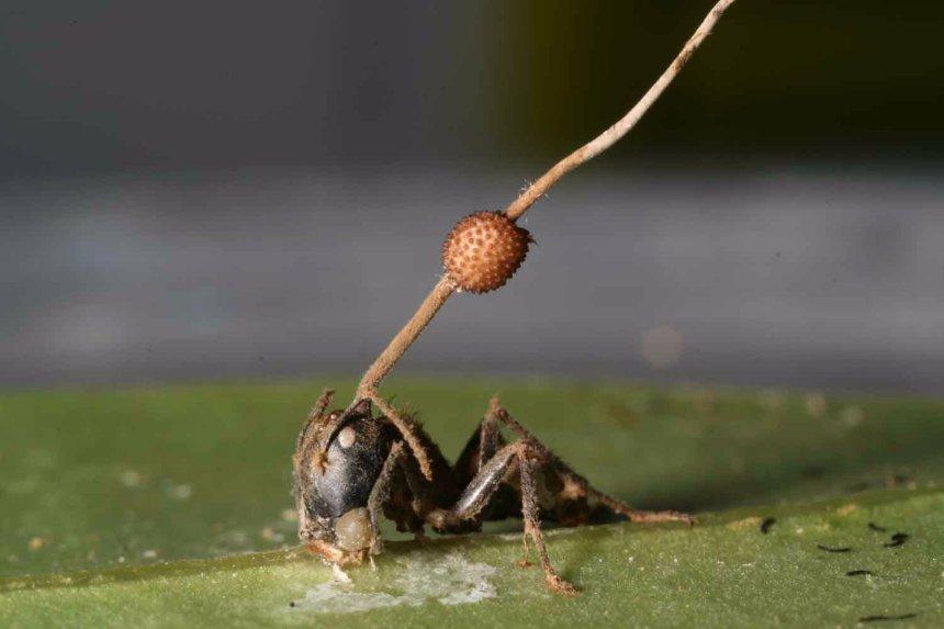 Ученые попытались выяснить, как гриб-паразит подчиняет себе муравьев