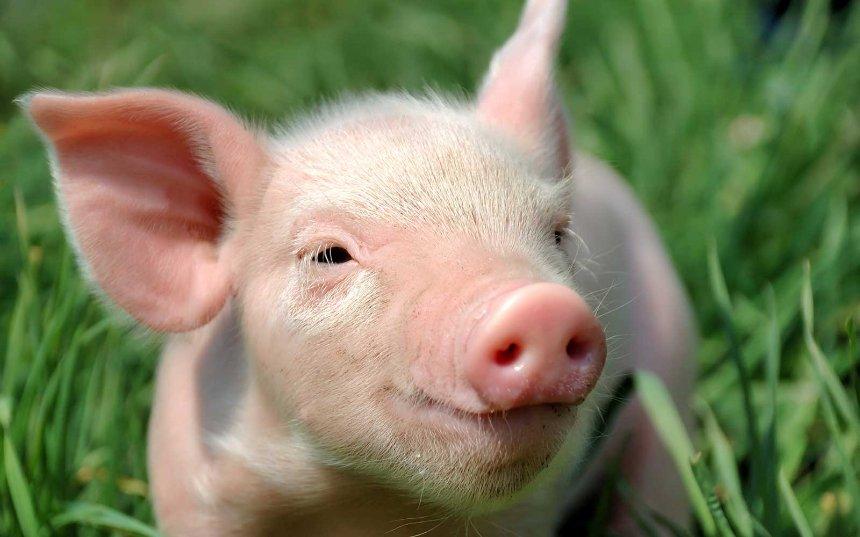 ИИ будет наблюдать за китайскими свинками