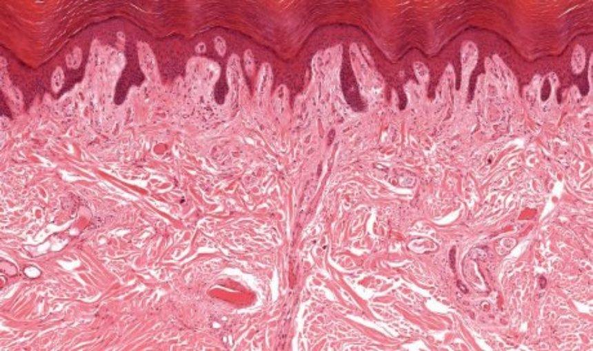 Ученые обнаружили в человеческом теле еще один орган, о котором не знали раньше
