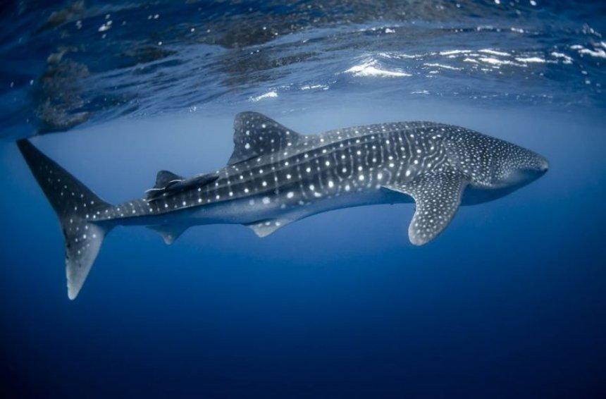 В глубинах Атлантики найдены новые виды акул