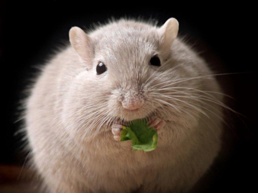 С ожирением мышей справились, убрав один фермент