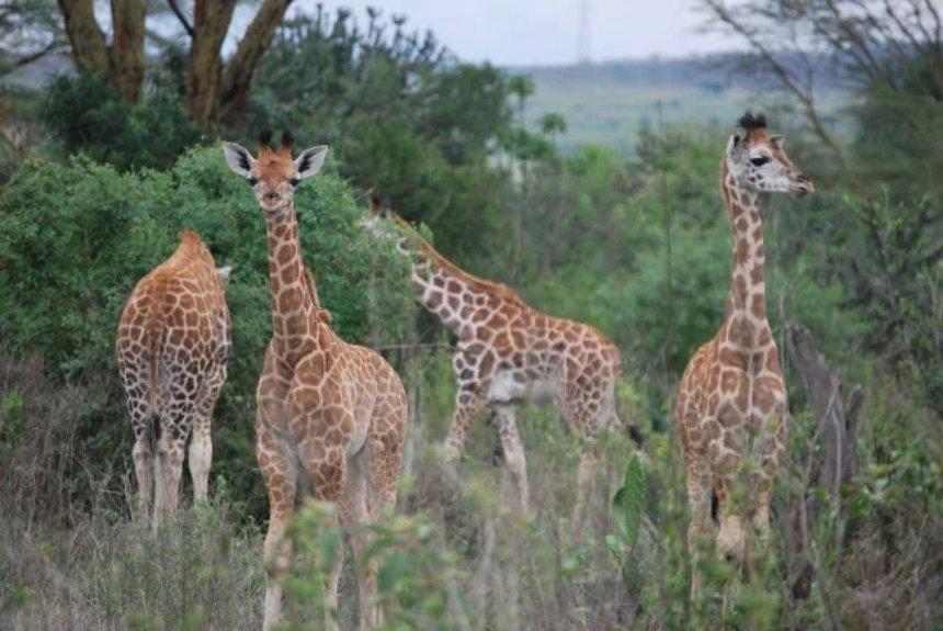 Ученые в очередной раз удивлены жирафами