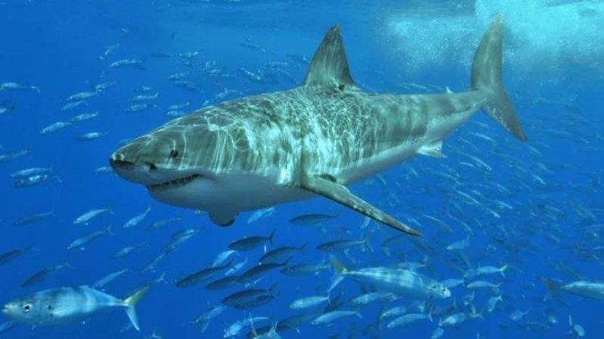 Сотни великих белых акул собираются в отдельном месте Тихого океана, и исследователи не знают, почему