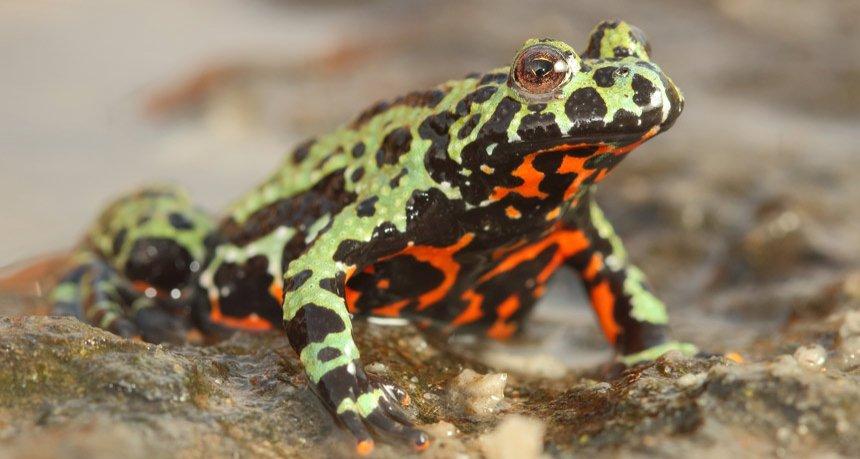 Грибок, убивающий лягушек, эволюционирует, - ученые предупреждают об опасности