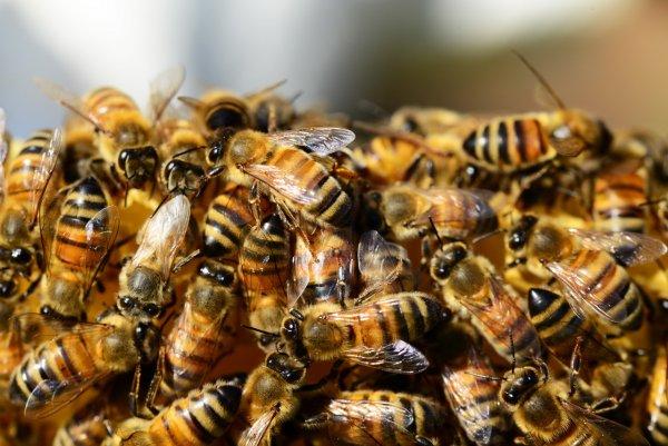 Учёные научились вызывать бесконтрольную агрессию пчёл