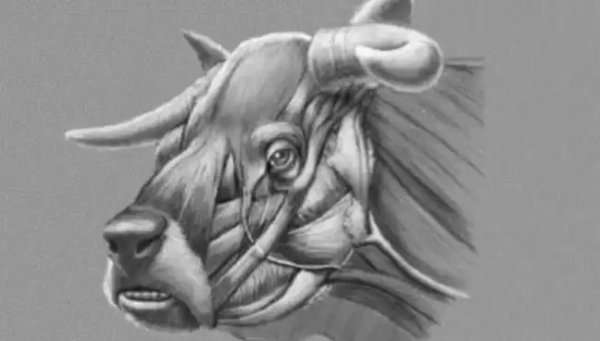 Ученые раскрыли тайны вымершей коровы с мордой бульдога