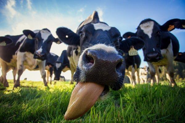 Ученые: Необходимо кормить коров бактериальной жижей вместо сена