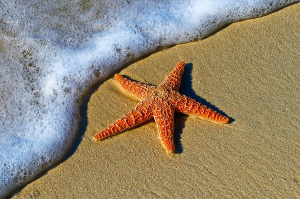 Ученые: Благодаря мутации морские звезды стали устойчивыми к смертельным болезням