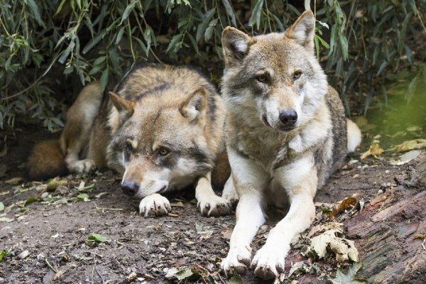 Ученые: Волки-мутанты из Чернобыля угрожают Европе