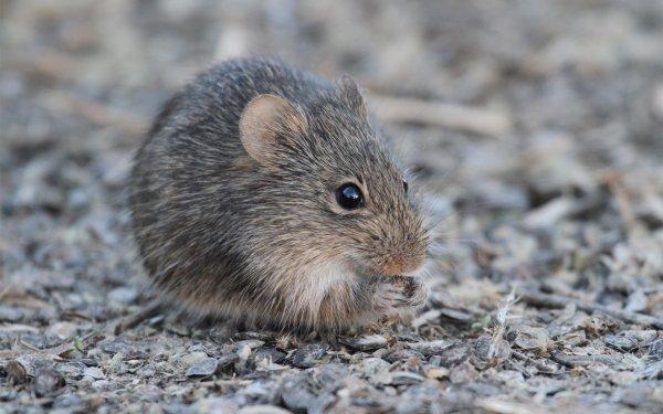 Размер имеет значение: Ученые выяснили, почему у мышей увеличиваются половые органы