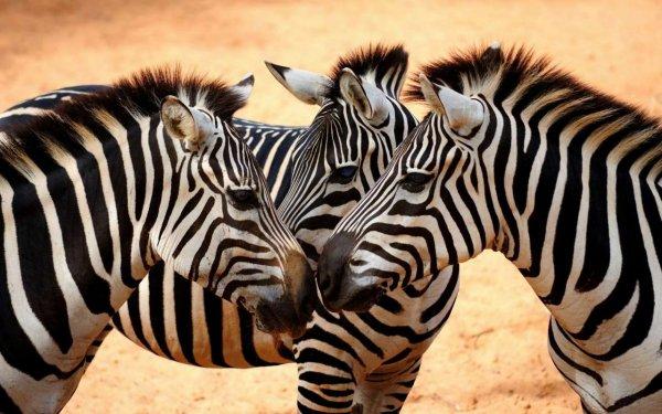 Ученые выяснили, что полоски на теле зебры не нужны для того, чтобы охлаждать ее тело