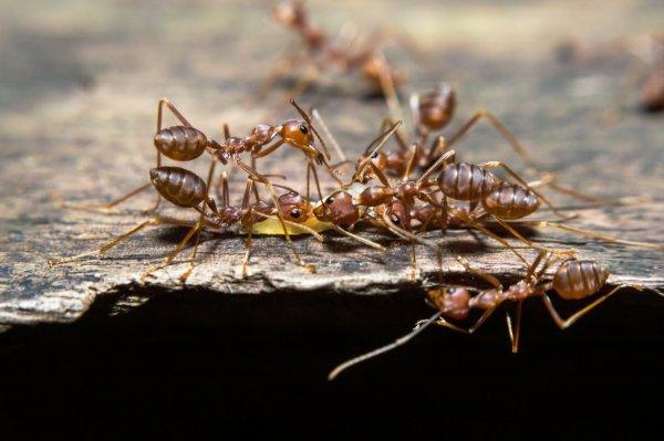 Ученые объяснили разделение на касты у муравьев