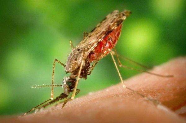 Ученые: Истребление малярийных комаров ни капли не изменит экосистему