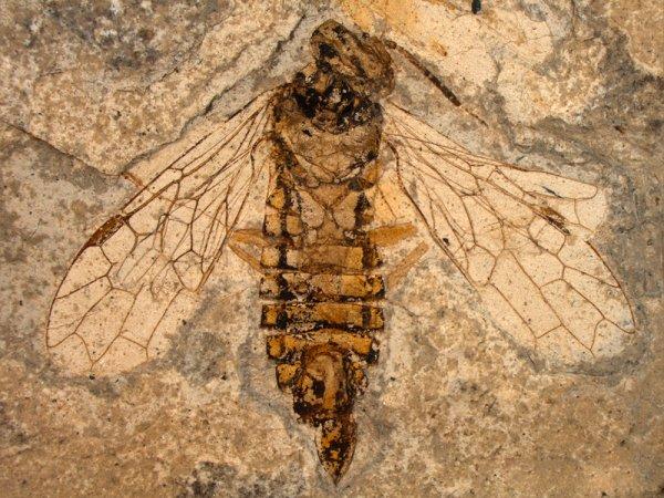 Ученые обнаружили ос-паразитов возрастом 60 млн лет и назвали их «Чужими»