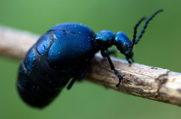 Жуки-паразиты научись иначе приманивать насекомых-хозяев