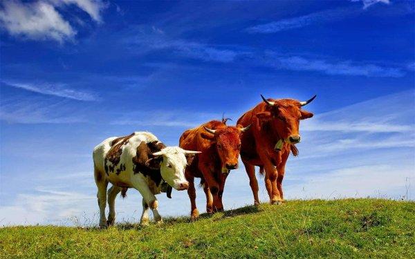 У уругвайских коров нашли новые штаммы лептоспироза