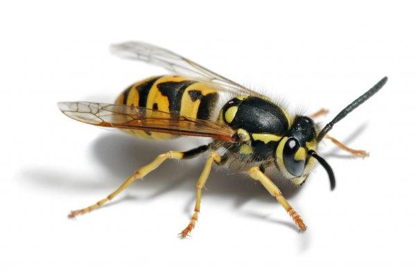 Учёные: Человечеству нужно пересмотреть негативный образ осы