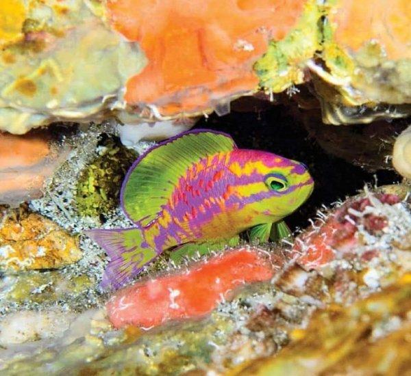 Ученые назвали рыбу пестрых цветов в честь богини красоты Афродиты