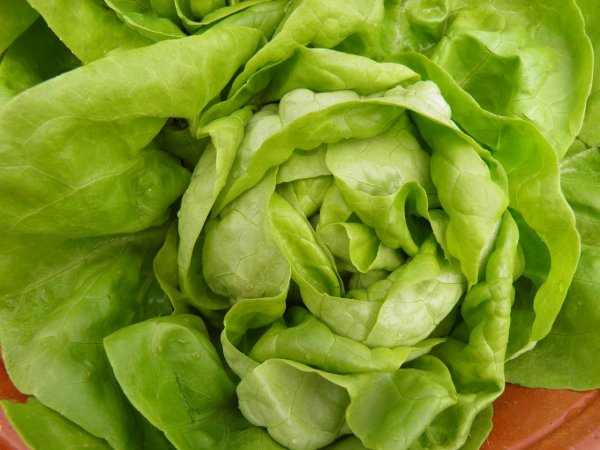 Робота научили аккуратно снимать листья с кочана салата