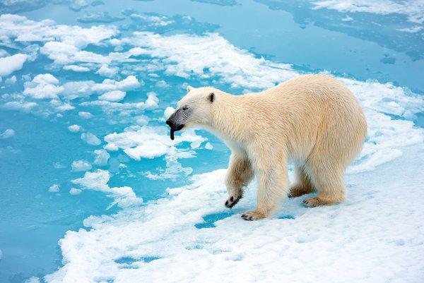 Ученые: Белые медведи на Чукотке стали заметно спокойнее и толще