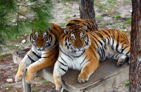 Ученые раскрыли секрет развития тигров по генам