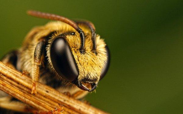 Энтомологи впервые нашли пчелу с двумя отцами, но без матери