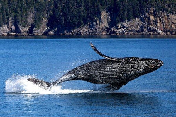 Ученые обнаружили недостающее звено эволюции китов