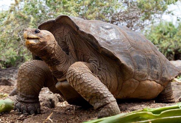 Геном Одинокого Джорджа раскрыл секрет долгожительства гигантских черепах