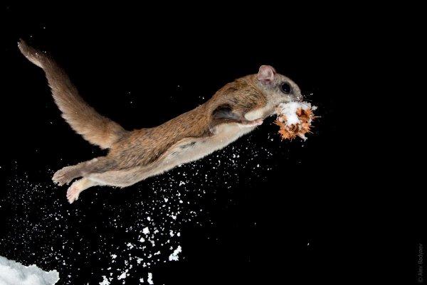 Американские белки-летяги обрели способность светиться в темноте