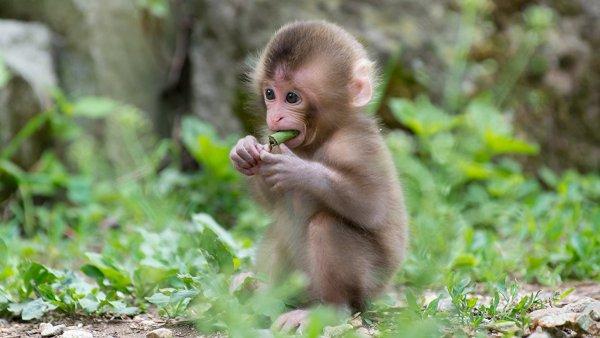 Ученые создали человекообразную обезьяну путём изменения ДНК приматов