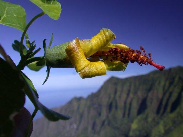 Учёные смогли обнаружить цветок, который считали вымершим