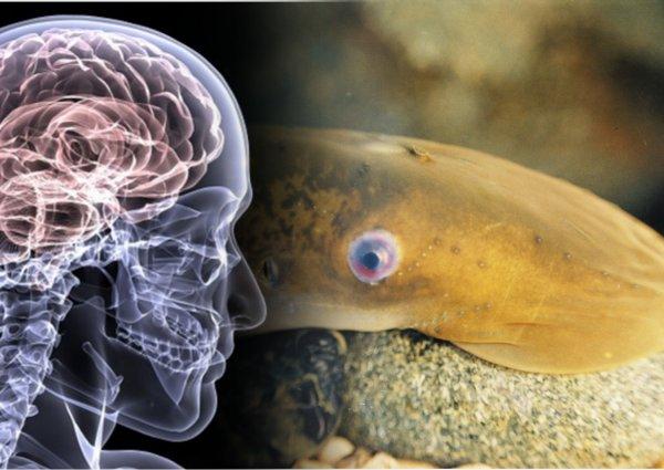 Рыбы-паразиты доставят лекарство в мозг человека и помогут вылечить рак – исследование