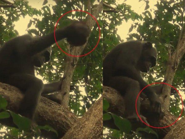 Обезьяны научились добывать мясо, разбивая черепах об деревья