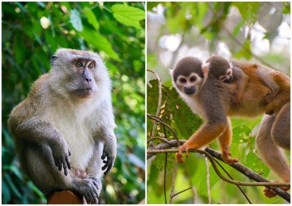 Язык обезьян эволюционировал