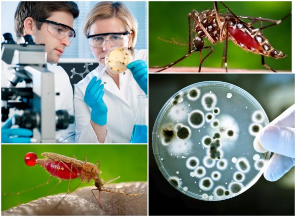Спасение или вымирание? Новый ГМ-грибок убивает не всех малярийных комаров