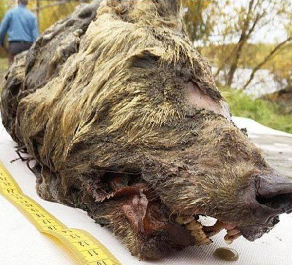 Нибиру проводит опыты над животными! В Сибири застрелили безглазого медведя-мутанта